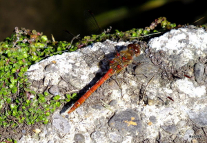 Common Darter Dragonfly [M] - Bicclescombe Park, Ilfracombe