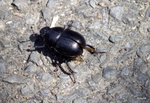 Dor Beetle - The Cairn, Ilfracombe