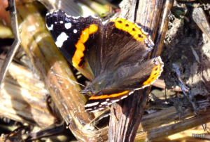 Red Admiral Butterfly - Nat' Trust Arlington Court