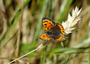 Small Copper Butterfly - The Cairn, Ilfracombe