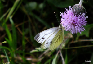 Green-veined White Butterfly - Nat' Trust Arlington Court