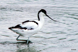 Avocet - Tichfield Haven NNR