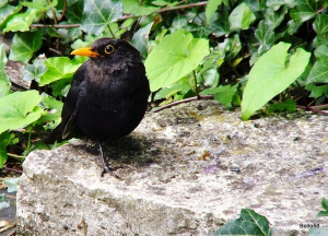 Blackbird - Tichfield Haven NNR