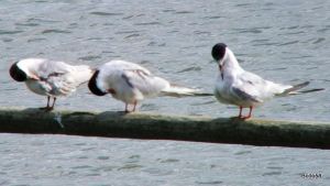 Common Tern - Tichfield Haven NNR