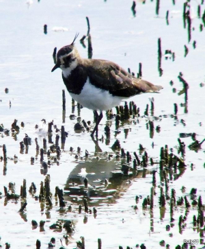 Lapwing - Tichfield Haven NNR