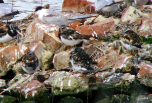 Turnstones [with Common Terns] - Tichfield Haven NNR