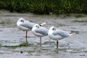 Black-headed Gulls - Northam Burrows