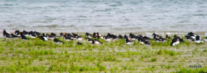 Oystercatchers - Northam Burrows