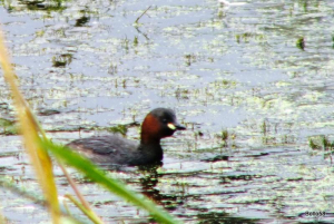 Little Grebe - WWT Slimbridge