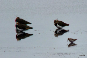 Lapwing & other small wader - RSPB Ham Wall