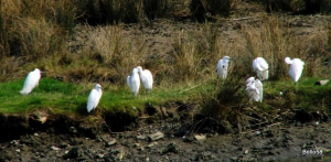 Little Egret - Braunton Marsh
