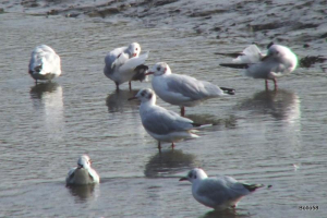 Black-headed Gulls - Braunton Marsh