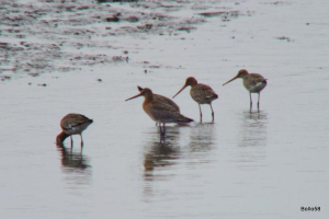Black-tailed Godwits - Braunton Marsh