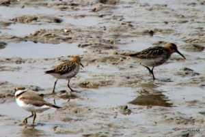 Dunlin with a Ringed Plover - Braunton Marsh