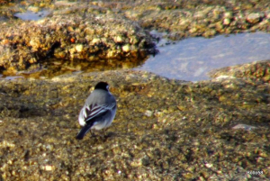 Pied Wagtail - Sennen Cove