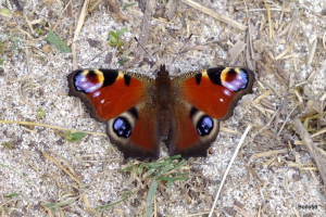 Peacock Butterfly - Sennen Cove