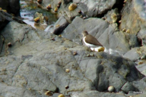 Common Sandpiper - SW Coastal Path - Trevean Cove
