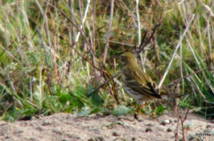 Meadow Pipit - RSPB Marazion Marsh