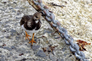 Turnstone - Penzance Harbour