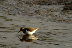 Common Sandpiper - Fremington Quay