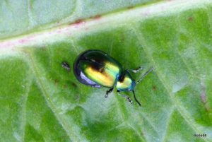 Green Dock-leaf Beetle on a