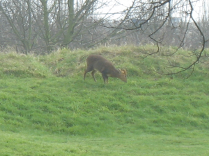 Deer at Skegness