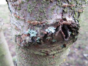 Foliose Lichen on Cherry tree