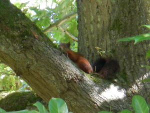 Red Squirrel in WEST SUSSEX!