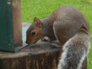 Grey Squirrel story
