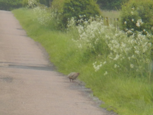Red-Legged Partridge (terrible photograph)