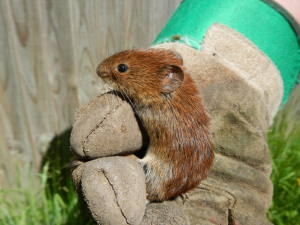 Stray Bank Vole!