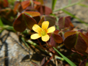 Procumbent Yellow Sorrel