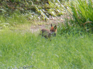 Blurry Red Fox