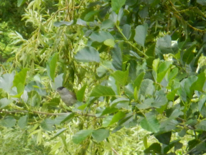 Blackcap (bottom left)