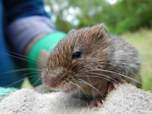 Short-Tailed (Field) Vole