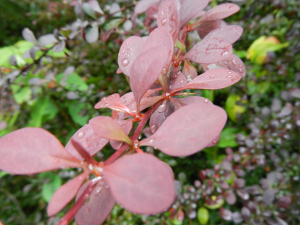 Thunberg's Barberry