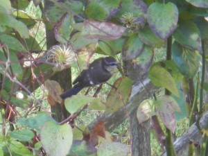 Blue Tit (bad photograph)