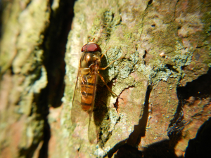 Ashdown Forest - Episyrphus balteatus