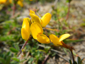 Ashdown Forest - Common Bird's-Foot-Trefoil