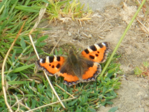 Pulborough Brooks - Small Tortoiseshell