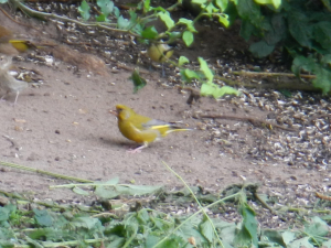 Pulborough Brooks - Greenfinch