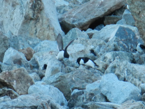 Svalbard - Little Auk/Dovekie