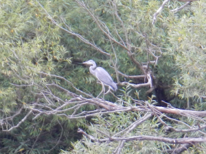 Hedgecourt Lake - Juv. Grey Heron