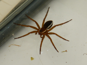 Fen Raft Spider at the BirdFair