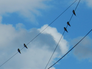 Swallows, on their migration