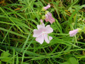 Woods Mill - Musk Mallow