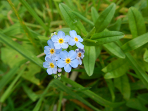 Hedgecourt Lake - Wood Forget-me-not