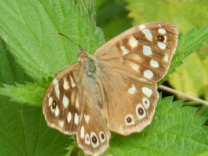 Hedgecourt Lake - Speckled Wood