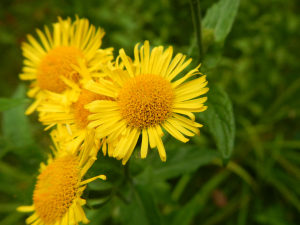 Hedgecourt Lake - Common Fleabane?