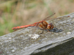 Cowdray Park - Common Darter